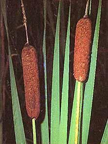Typha laxmanii