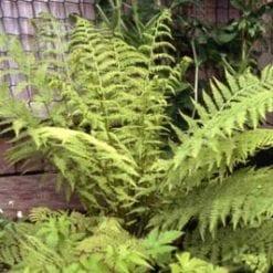 Athyrium felix-femina 'Rotstiel'